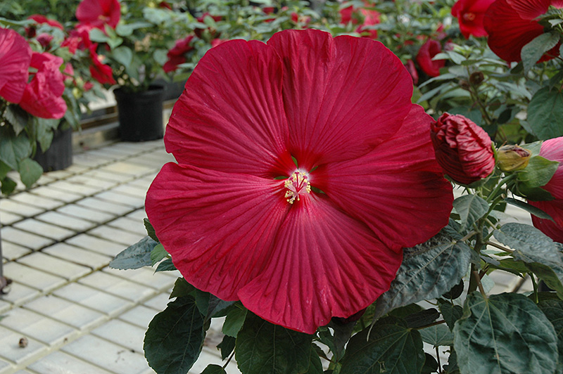 Carolina Red Hibiscus Hibiscus Carolina Red In Longview Kilgore