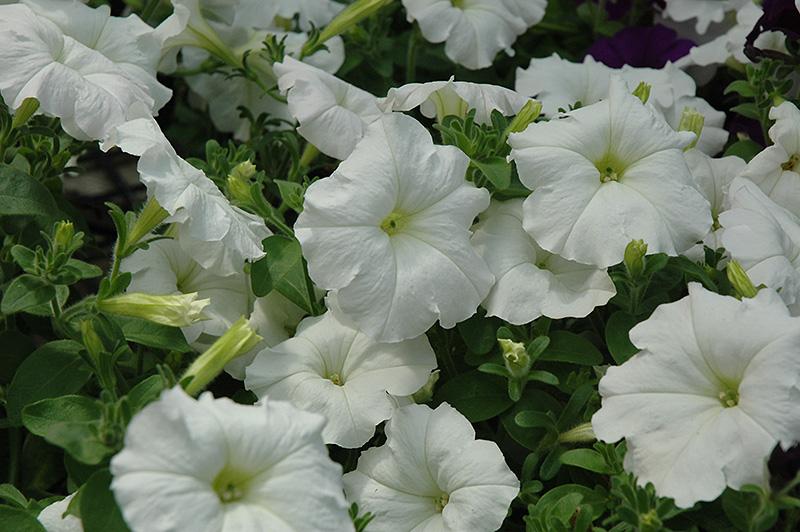 Easy Wave White Petunia Petunia Easy Wave White In Longview