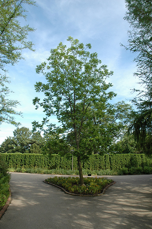 Chalet Nursery And Garden Center: Pecan (Carya Illinoinensis) In Longview Kilgore Tyler