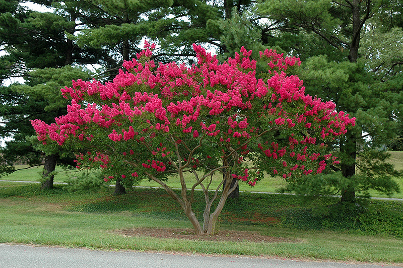 Dallas Red Crapemyrtle (Lagerstroemia Indica U0027Dallas Redu0027) At The Home And  Garden