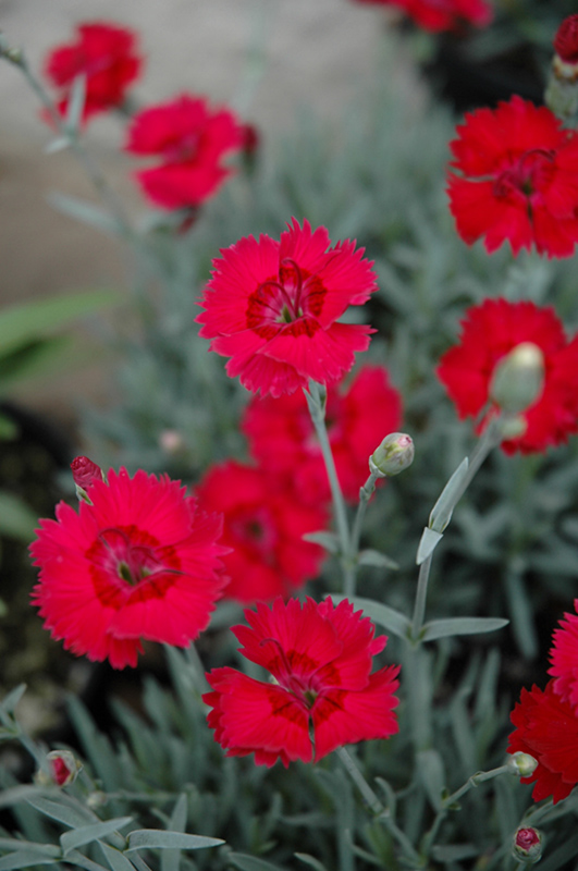 2643ee4ad6d9 Red Beauty Pinks (Dianthus gratianopolitanus  Red Beauty ) at The Home And  Garden
