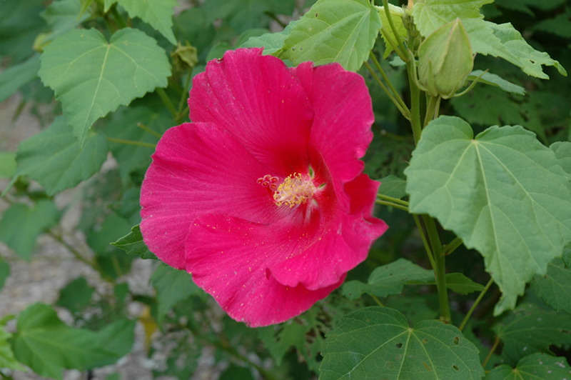 Red Confederate Rose Hibiscus Mutabilis Rubrum In Longview