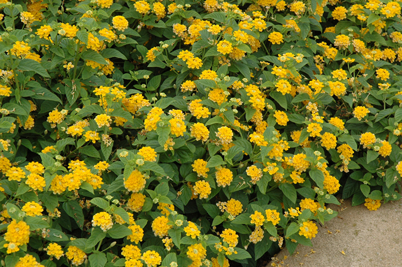 Little Lucky Pot Of Gold Lantana Lantana Camara Little Lucky Pot