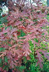 white oak quercus alba at the home and garden center - White Oak Garden Center