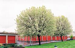 Bradford Ornamental Pear (Pyrus calleryana 'Bradford') at The Home And Garden Center