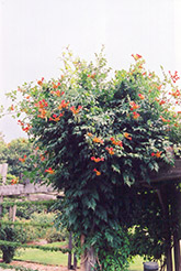Trumpetvine (Campsis radicans) at The Home And Garden Center