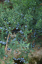 Grey Owl Redcedar (Juniperus virginiana 'Grey Owl') at The Home And Garden Center