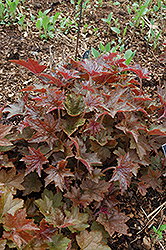 Palace Purple Coral Bells (Heuchera micrantha 'Palace Purple') at The Home And Garden Center