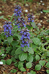 Caitlin's Giant Bugleweed (Ajuga reptans 'Caitlin's Giant') at The Home And Garden Center