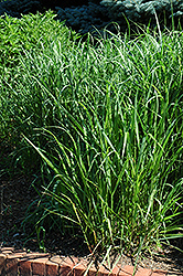 Switch Grass (Panicum virgatum) at The Home And Garden Center