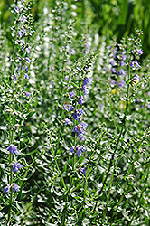 Hyssop (Hyssopus officinalis) at The Home And Garden Center