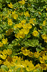 Creeping Jenny (Lysimachia nummularia) at The Home And Garden Center