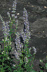 Anise Hyssop (Agastache foeniculum) at The Home And Garden Center