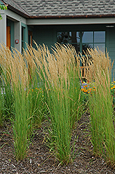 Karl Foerster Reed Grass (Calamagrostis x acutiflora 'Karl Foerster') at The Home And Garden Center