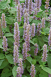 Blue Fortune Anise Hyssop (Agastache 'Blue Fortune') at The Home And Garden Center