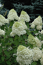 Limelight Hydrangea (Hydrangea paniculata 'Limelight') at The Home And Garden Center