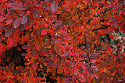 Rose Glow Japanese Barberry (Berberis thunbergii 'Rose Glow') at The Home And Garden Center