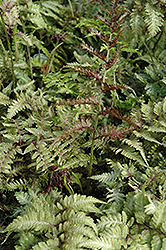 Japanese Painted Fern (Athyrium nipponicum 'Metallicum') at The Home And Garden Center