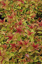 Goldflame Spirea (Spiraea x bumalda 'Goldflame') at The Home And Garden Center