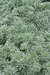 Silver Mound Artemesia (Artemisia schmidtiana 'Silver Mound') at The Home And Garden Center