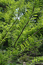 Baldcypress (Taxodium distichum) at The Home And Garden Center