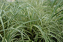 Evergold Variegated Japanese Sedge (Carex oshimensis 'Evergold') at The Home And Garden Center
