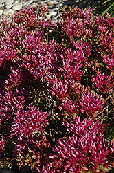 Dragon's Blood Stonecrop (Sedum spurium) at The Home And Garden Center