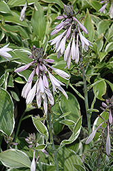Francee Hosta (Hosta 'Francee') at The Home And Garden Center