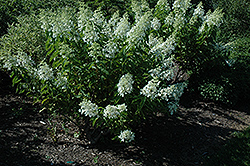 White Caps™ Hydrangea (Hydrangea paniculata 'Dolly') at The Home And Garden Center