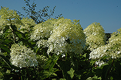 Phantom Hydrangea (Hydrangea paniculata 'Phantom') at The Home And Garden Center