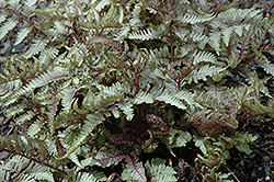 Red Beauty Painted Fern (Athyrium nipponicum 'Red Beauty') at The Home And Garden Center