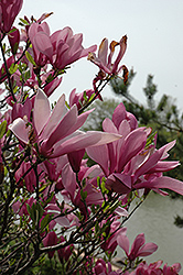 Ann Magnolia (Magnolia 'Ann') at The Home And Garden Center