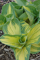 Great Expectations Hosta (Hosta 'Great Expectations') at The Home And Garden Center