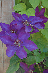 The President Clematis (Clematis 'The President') at The Home And Garden Center