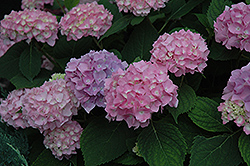 Endless Summer® Hydrangea (Hydrangea macrophylla 'Endless Summer') at The Home And Garden Center