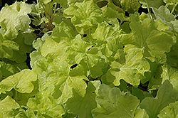 Citronelle Coral Bells (Heuchera 'Citronelle') at The Home And Garden Center