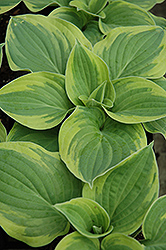 Wide Brim Hosta (Hosta 'Wide Brim') at The Home And Garden Center