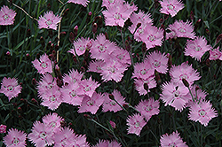Bath's Pink Pinks (Dianthus 'Bath's Pink') at The Home And Garden Center