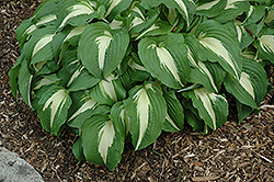 Night Before Christmas Hosta (Hosta 'Night Before Christmas') at The Home And Garden Center