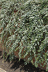 Coral Beauty Cotoneaster (Cotoneaster dammeri 'Coral Beauty') at The Home And Garden Center