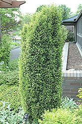 Gold Cone Juniper (Juniperus communis 'Gold Cone') at The Home And Garden Center