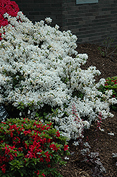 Delaware Valley White Azalea (Rhododendron 'Delaware Valley White') at The Home And Garden Center