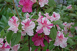 Encore® Autumn Twist™ Azalea (Rhododendron 'Conlep') at The Home And Garden Center