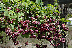 Chocolate Vine (Akebia quinata 'Purple Bouquet') at The Home And Garden Center