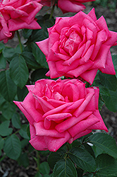 Miss All American Beauty Rose (Rosa 'Miss All American Beauty') at The Home And Garden Center