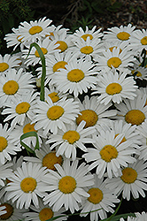 Snow Lady Shasta Daisy (Leucanthemum x superbum 'Snow Lady') at The Home And Garden Center