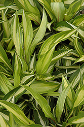 Cherry Berry Hosta (Hosta 'Cherry Berry') at The Home And Garden Center