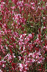 Belleza® Gaura (Gaura lindheimeri 'Belleza') at The Home And Garden Center
