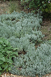 Cotton Lavender (Santolina chamaecyparissus) at The Home And Garden Center