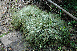 New Zealand Hair Sedge (Carex comans 'Frosted Curls') at The Home And Garden Center